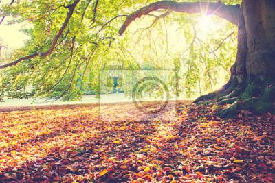 Plakat Beech Tree jesienią