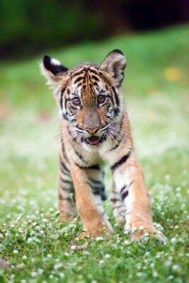 Plakat Bengal Tiger Baby idzie przez łąkę.