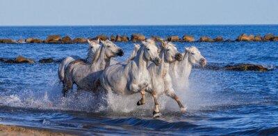 Plakat Białe Camargue Konie galopujący wzdłuż plaży morskiej. Parc Regional de Camargue. Francja. Prowansja. Doskonałą ilustracją