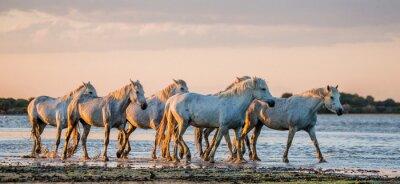 Plakat Białe Camargue konie stoją na terenie rezerwatu przyrody bagien. Parc Regional de Camargue. Francja. Prowansja. Doskonałą ilustracją