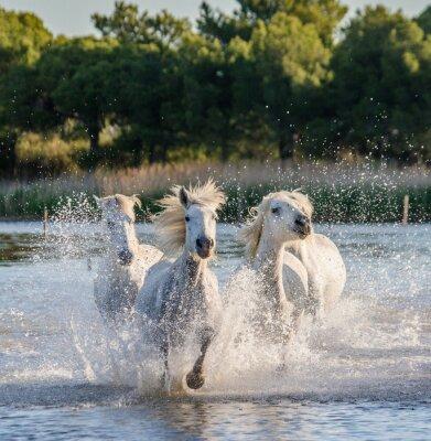 Plakat Białe Camargue konie uruchomić na terenie rezerwatu przyrody bagien. Parc Regional de Camargue. Francja. Prowansja. Doskonałą ilustracją