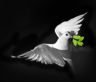 Plakat białe gołębie