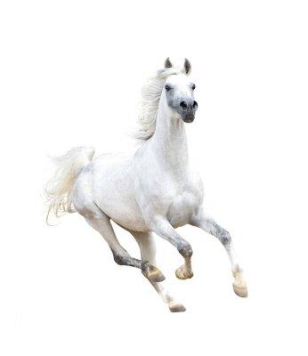 Plakat białe koni arabskich izolowanych na białym