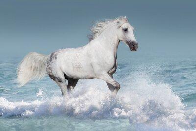 Plakat Biały koń arabski prowadzony galop w fale w oceanie