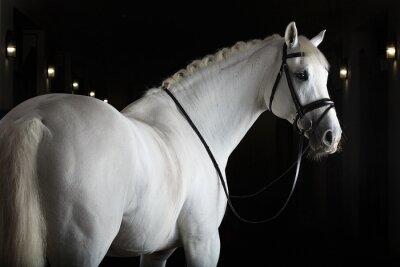 Plakat Biały koń na czarnym tle