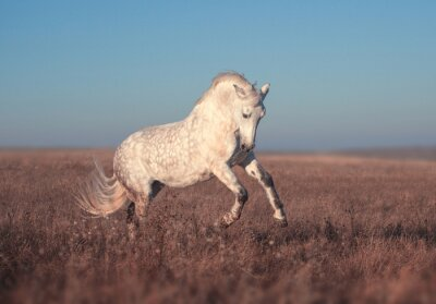 Plakat Biały koń prowadzony