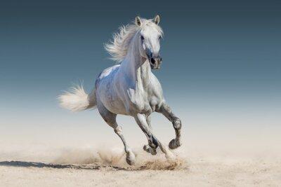 Plakat Biały koń prowadzony galop