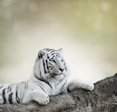 Plakat Biały Tygrys