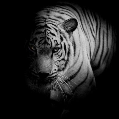 Plakat Biały tygrys samodzielnie na czarnym tle