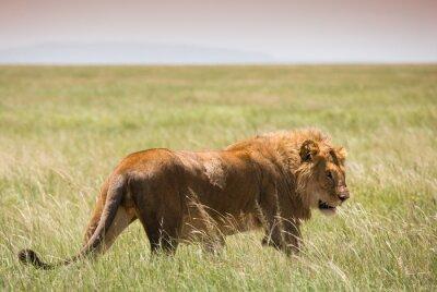 Plakat Big Młody Lew w Serengeti National Park
