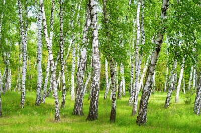 Plakat birch grove