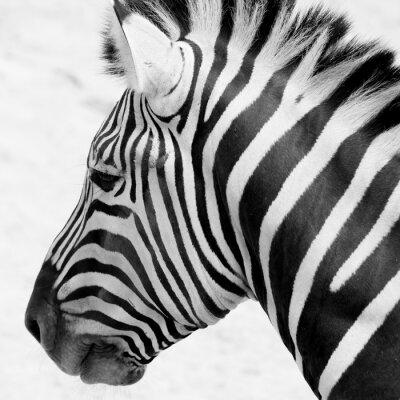 Plakat black and white zebra