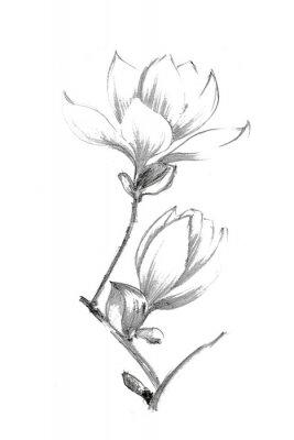 Plakat Black-white illustration with a pencil. White magnolia. Elegant botanical illustration.
