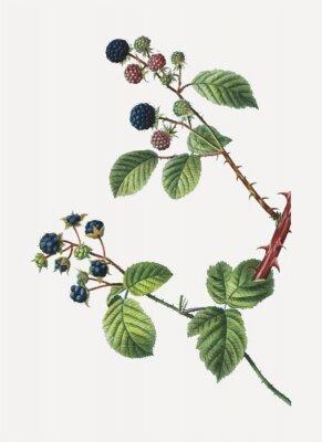 Plakat Blackberry bush