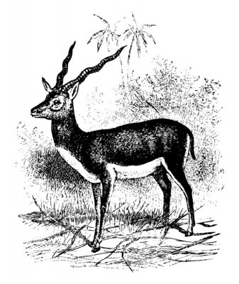 Plakat Blackbuck vintage illustration.