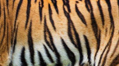 Plakat bliska tekstury skóry tygrysa
