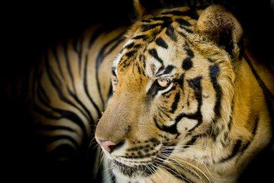 Plakat Bliska tygrysa