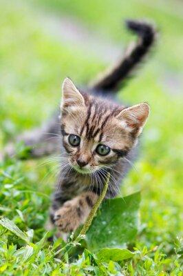Plakat brązowe paski cute kitten chodzenie na trawie