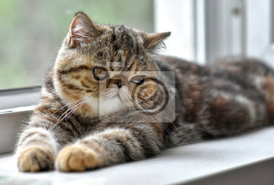 Plakat Brown exotic Shorthair kitten lying by the window and looks away. Toddler animals and Persian cats concept.