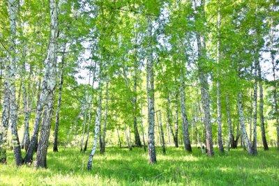 Plakat brzozowy las