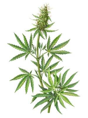 Plakat Cannabis Female Plant Pencil Illustration Isolated on White