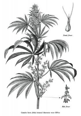 Plakat Cannabis sativa male tree botanical vintage engraving illustration black and white clip art isolated on white background