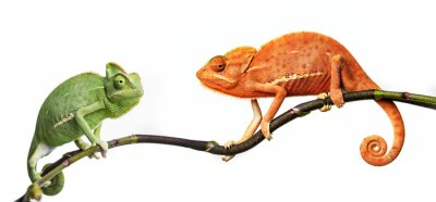 Plakat Chameleon - Kameleon jemeński na gałęzi