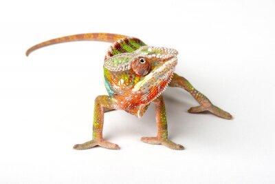Plakat Chameleon na białym tle