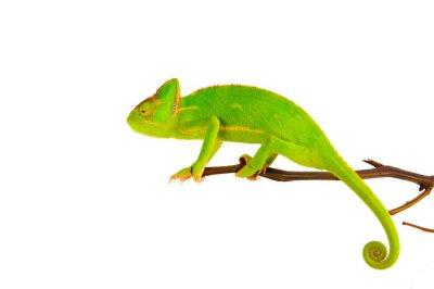 Plakat Chameleon na gałęzi