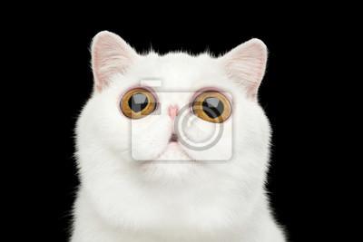 Plakat Close-up Funny Portret zaskoczony Czystej Białej Exotic Cat głowę na pojedyncze czarne tło, widok z przodu, nowoczesny zafascynowani patrząc w górę, wielkimi oczami
