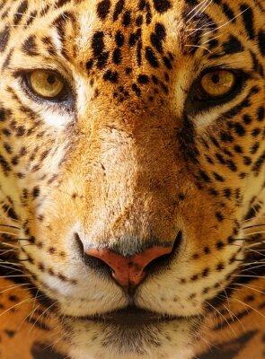 Plakat Close-up strzał z pięknym pantery