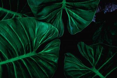 Plakat closeup nature view of tropical leaf background, dark tone concept