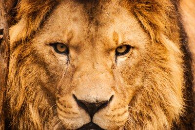 Plakat Closeup portret lwa afrykańskiego