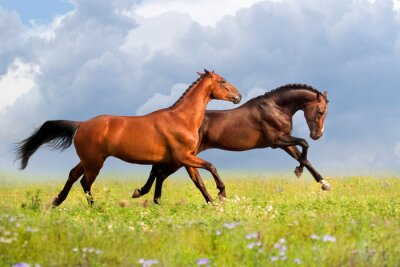 Plakat Couple horses run gallop on gree grass with flowers at summer day