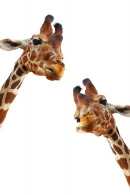 Plakat Couple of giraffes closeup portrait isolated on white background