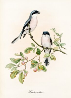 Plakat Couple of white and bluish birds on a single isolated branch rich of leaves and berries. Old colorful illustration of Lesser Grey Shrike (Lanius minor). By John Gould publ. In London 1862 - 1873