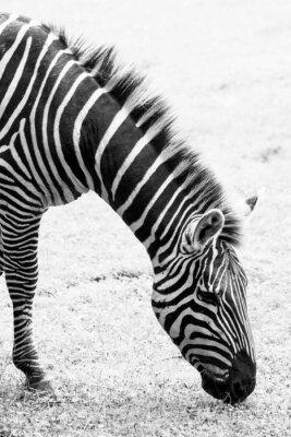 Plakat Czarno-białe zdjęcie z zebra