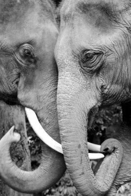 Plakat Czarno-biały Close-up zdjęcie z dwóch słoni jest czuły.