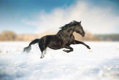 Plakat Czarny koń prowadzony w śniegu