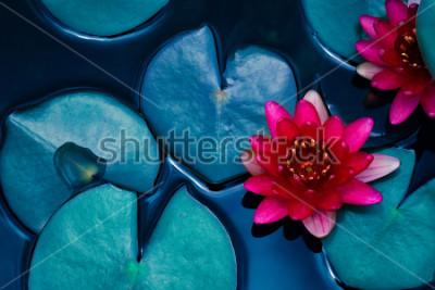 Plakat czerwona lilia wodna lilia kwitnąca na powierzchni wody i ciemnoniebieskie liście tonowana, czystość tła, roślin wodnych, symbol buddyzmu.