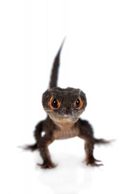 Plakat Czerwono-eyed krokodyla Scynki, tribolonotus gracilis, na białym tle
