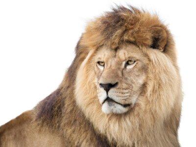 Plakat Czujny Potężny lew