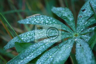Plakat Dew drops on Lupin leaves. In the early morning dew froze on the green leaves. Dew like jewels