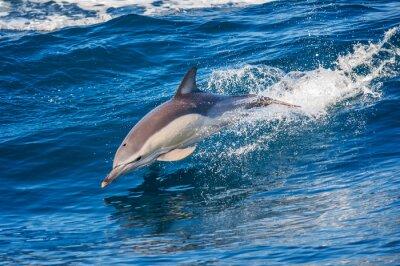 Plakat Dolphin skoków poza morzem