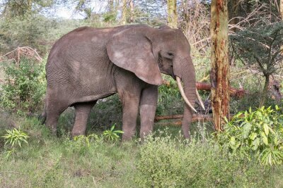 Plakat Dorosły słoń z dużymi kłami stoją w profilu koło pnia drzewa. Lake Manyara National Park, Tanzania, Afryka.