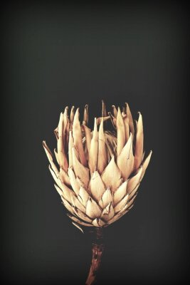 Plakat dried exotic flowers Protea on black background closeup vintage toned. poster