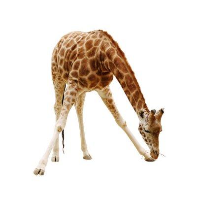 Plakat Duża żyrafa samodzielnie na białym tle