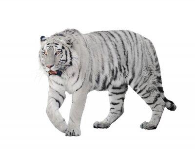 Plakat duże Tygrys albinos na białym