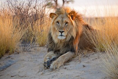 Plakat Duży samiec lwa afrykańskiego, pustyni Kalahari