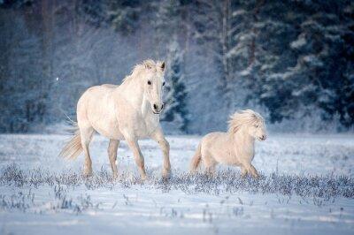 Plakat Dwa białe konie biegną w polu w zimie